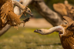 战斗的兀鹫 库存图片