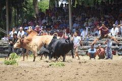 战斗的公牛,泰国 免版税库存图片