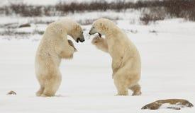 战斗的北极熊 免版税库存图片