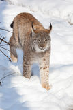 战斗的北美灰狼 库存图片