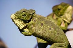 战斗的变色蜥蜴-马达加斯加地方病爬行动物 库存照片