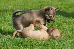 战斗的小狗 库存图片