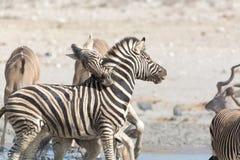 战斗的斑马在纳米比亚 免版税库存照片
