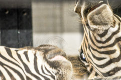 战斗的斑马 免版税图库摄影