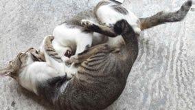 战斗的猫 库存照片