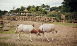 战斗的羚羊肯尼亚山国家公园 库存照片