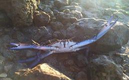 战斗的螃蟹 库存照片