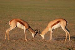 战斗的跳羚羚羊 库存图片