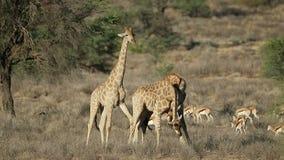 战斗的长颈鹿公牛和跳羚羚羊 股票视频