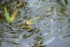 战斗的雨蛙 图库摄影