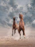 战斗的马 免版税库存图片