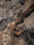 战斗的鬣鳞蜥 库存照片