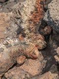战斗的鬣鳞蜥 免版税库存照片