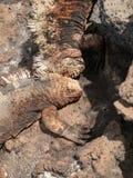 战斗的鬣鳞蜥 库存图片