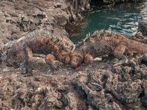战斗的鬣鳞蜥 免版税图库摄影