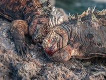 战斗的鬣鳞蜥 免版税库存图片