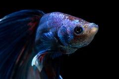 战斗的鱼的面孔在黑背景的 库存图片