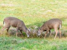 战斗的鹿为了确定优胜者 库存图片