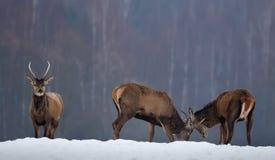 战斗的鹿:几头幼小鹿Spiczak发现关系 两只红鹿市雄鹿鹿战斗在冬天的Elaphus 库存照片
