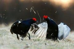 战斗的黑松鸡 图库摄影