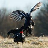 战斗的黑松鸡 库存图片