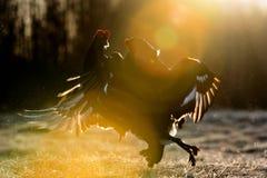 战斗的黑松鸡 免版税库存照片