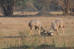 战斗的kudu 库存图片