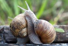 战斗蜗牛 免版税库存图片