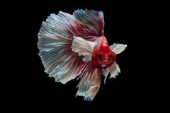 战斗鱼红色暹罗语 免版税图库摄影