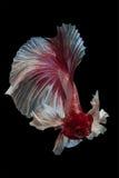 战斗鱼红色暹罗语 免版税库存照片