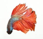 战斗鱼红色暹罗语 免版税库存图片
