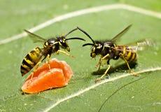战斗黄蜂 库存照片