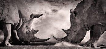 战斗,在两白色犀牛之间的交锋在湖纳库鲁的非洲大草原 库存照片
