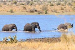 战斗从克留格尔国家公园,非洲象属africana的大象 库存图片