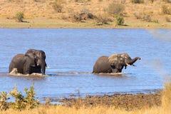战斗从克留格尔国家公园,非洲象属africana的大象 免版税图库摄影