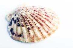 截去的查出的路径海运壳白色 免版税图库摄影