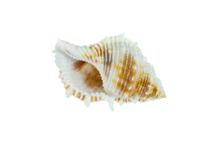截去的查出的路径海运壳白色 免版税库存图片