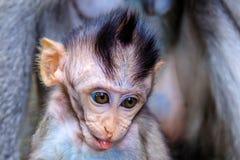 戳它的舌头,顶头射击,巴厘岛,印度尼西亚的长尾或螃蟹吃短尾猿的婴孩 图库摄影