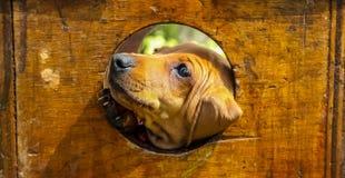 戳它的面孔的逗人喜爱的棕色小狗通过孔 库存图片