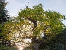 戳通过一个橡树的太阳外面在国家wi边缘  库存图片