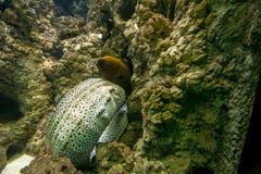 戳他的头和身体部位的色的海鳗(Muraena)在石头的一个空隙 免版税库存照片