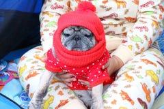 戴一个红色帽子的逗人喜爱的哈巴狗狗 免版税图库摄影