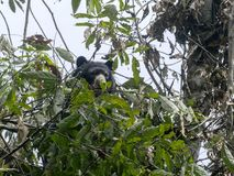 戴了眼镜熊, Tremarctos ornatus,在一棵树被喂养在Maquipucuna,厄瓜多尔山有雾的森林里  免版税图库摄影