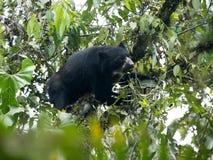 戴了眼镜熊, Tremarctos ornatus,在一棵树被喂养在Maquipucuna,厄瓜多尔山有雾的森林里  免版税库存照片