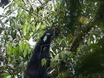 戴了眼镜熊, Tremarctos ornatus,在一棵树被喂养在Maquipucuna,厄瓜多尔山有雾的森林里  库存图片