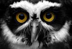 戴了眼镜猫头鹰 免版税库存照片