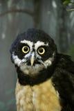 戴了眼镜的猫头鹰 免版税库存图片