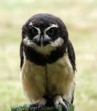 戴了眼镜的猫头鹰 免版税库存照片