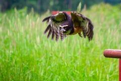 戴了眼镜飞行的猫头鹰 库存照片