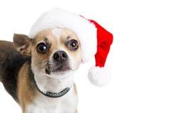 戴圣诞老人帽子的滑稽的奇瓦瓦狗狗 免版税库存照片